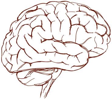 Das große Gehirn übernimmt komplexe Denkvorgänge